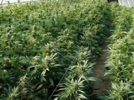Afacere ilegală cu marijuana la Vadul lui Vodă