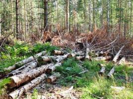 Tăieri ilicite de pădure la Edineţ