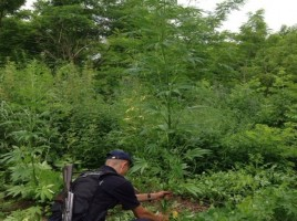 Operațiunii MAC 2014 organizată de Poliţia de Frontieră, ce s-a desfășurat în perioada 30 mai–31 august curent a ajuns la final. Oamenii legii au făcut publice totalurile operaţiunii.  1287 fire de mac și 8326 de plante de cânepă au fost descoperite și ulterior nimicite de polițiștii de frontieră. Totodată au fost înregistrate 17 cazuri legate de droguri de origine vegetală și alte şapte de cultivarea plantelor de mac, precum și ridicate 200 gr de semințe de cânepă.  Deși operațiunea MAC a fost finalizată, acțiunile de depistarea plantelor cu conţinut narcotic continuă. Poliţia a depistat alte două lanuri de cânepă și 2060 de plante.  În primul caz, polițiștii de frontieră Soroca, au descoperit la 30 metri de râul Nistru și cinci kilometri de satul Racovăț tufe de cânepă. Plantele creșteau pe un lot de teren, lăsat pârloagă, și se întindea pe o suprafaţă de aproximativ 200 metri pătraţi. Cele 1753 de fire de cânepă nu erau cultivate şi îngrijite.   Un alt lot, pe care creşteau peste 300 plante de cânepă, a fost descoperit de inspectorii Sectorului Poliţiei de Frontieră Cuhneşti. Și în cazul dat nu a fost posibilă identificarea persoanelor care au plantat cânepa, fiind luată decizia de a le nimici prin ardere.