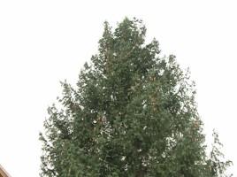 Bradul din PMAN, mai inalt decat cel de anul trecut. De unde va fi adus pomul de Craciun.